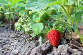Strawberries in garden — Stock Photo