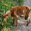 Domestic goat farm animal — Stockfoto
