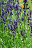 Field of lavender — Stock Photo