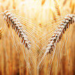 Gold Wheat - Stock Photo