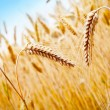 Wheat Field — Stock Photo #11930271
