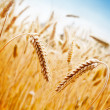 Wheat Field — Stock Photo #11930274