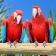 Macaw parrots — Stock Photo #11248981