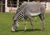 African zebra — Stock Photo