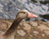 Goose close up — Stock Photo