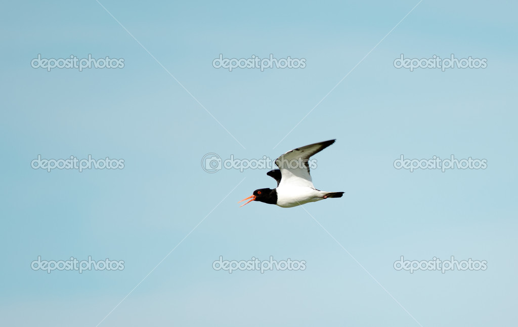 A oystercatchers flying against the blue sky. — Stock Photo #11402541