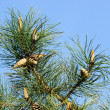 Pine Tree — Stock Photo #11413112