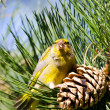 Detail of a greenfinch sitting in a pine tree. — Stock Photo #11413339