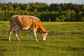 Cow grazing in meadow — Stock Photo