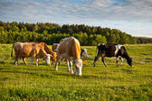 Herd of cows — Stockfoto