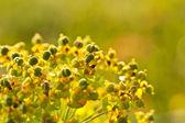 Closeup of meadow flower — Stock Photo
