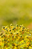 Closeup of meadow yellow flower — Fotografia Stock