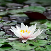 Water lily in lake. — Stock Photo