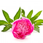 Pink peony — Stock Photo #10745922