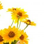 Yellow daisies — Stock Photo #11267036