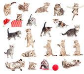 Colección de gatos bebé británico aislado en blanco — Foto de Stock