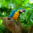 Stock Photo: Macaw parrot