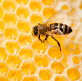 Bee macro shot collecting honey in honeycomb — Stock Photo