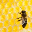 Bee in honeycomb close-up shot — Zdjęcie stockowe