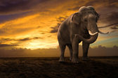 Elephant walking outdoor on sunset — Stock Photo
