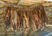Tobacco leaves are dried on a rope under the roof of the cigar factory in the Dominican Republic — Stock Photo