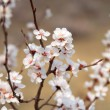 Soft photo of White-pink cherry blossom. Bokeh - Stock Photo