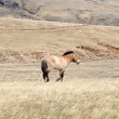 Mongolian horses are grazing on the steppe - Lizenzfreies Foto