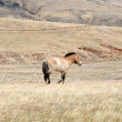 Mongolian horses are grazing on the steppe - Stock Photo