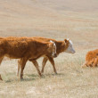 Shaggy Mongolian cows grazing in the Mongolian steppe - Lizenzfreies Foto