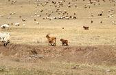 Shaggy Mongolian cows grazing in the Mongolian steppe — Stock Photo
