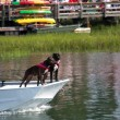 Stock Photo: Boxer Dogs On Boat