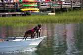 Boxer Dogs On A Boat — Stock Photo