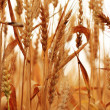 Wheat field — Stock Photo #11587265