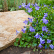 Blue Campanula rock plant — Stock Photo