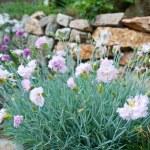 ������, ������: Carnation flowers
