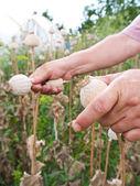 Récolte de pavot — Photo