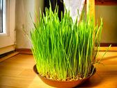 Młoda pszenica kiełki — Zdjęcie stockowe