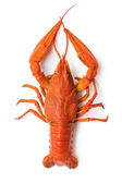 The red lobster — Stock Photo