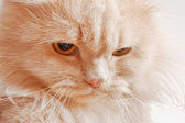 Bozal de rojo gato enojado — Foto de Stock