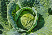 Fresh green cabbage — Stock Photo