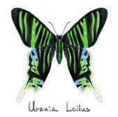 Бабочка Урания Leilus. Имитация акварели. — Cтоковый вектор