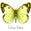 Butterfly Colias Erate. Watercolor imitation. — Stock Vector