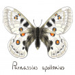 Butterfly Parnassius Apollonius. — Stock Vector