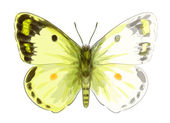 Butterfly Colias Erate. Unfinished Watercolor drawing imitation. — Stock Vector