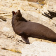 New Zealand fur seal, Arctocephalus forsteri — Stock Photo #10767286