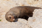 New Zealand fur seal, Arctocephalus forsteri — Stock Photo