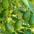 Ripe avocado fruits growing on tree as crop — Stok fotoğraf