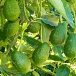 Ripe avocado fruits growing on tree as crop — Stock Photo