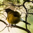 Endemic New Zealand Bellbird, Anthornis melanura — Stock Photo