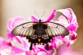 Borboleta tropical asiática de rabo de andorinha, sugando o néctar — Fotografia Stock